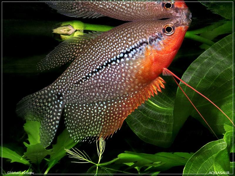 Аквариумные рыбки фото названия виды описания