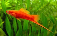 """Mečovka mexická červená Xiphophorus hellerii red Xiphophorus hellerii """"red"""""""