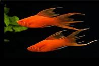 """Mečovka mexická červená závojová Xiphophorus hellerii red Xiphophorus hellerii """"red"""""""