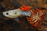 Živorodka duhová v.red cobra Poecilia reticulata red Poecilia reticulata red cobra
