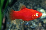 "Plata skvrnitá var. Korálová Xiphophorus maculatus ""Coral"" Xiphophorus maculatus"