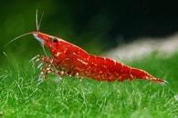 Krevetka červená var. Red cherry - Neocaridina davidi var. Red cherry Neocaridina davidi var. Red cherry