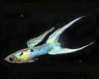 Živorodka duhová - Poecilia reticulata-Blue Japan