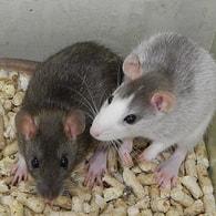 Potkan obecný Rattus norvegicus