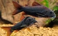 Pancéřníček sp. černý (venezuelský) Corydoras sp. Black Venezuelanus