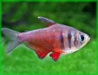 Tetra červená Hyphessobrycon flammeus